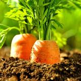 Karotten frisch aus dem Beet © Stefan Körber